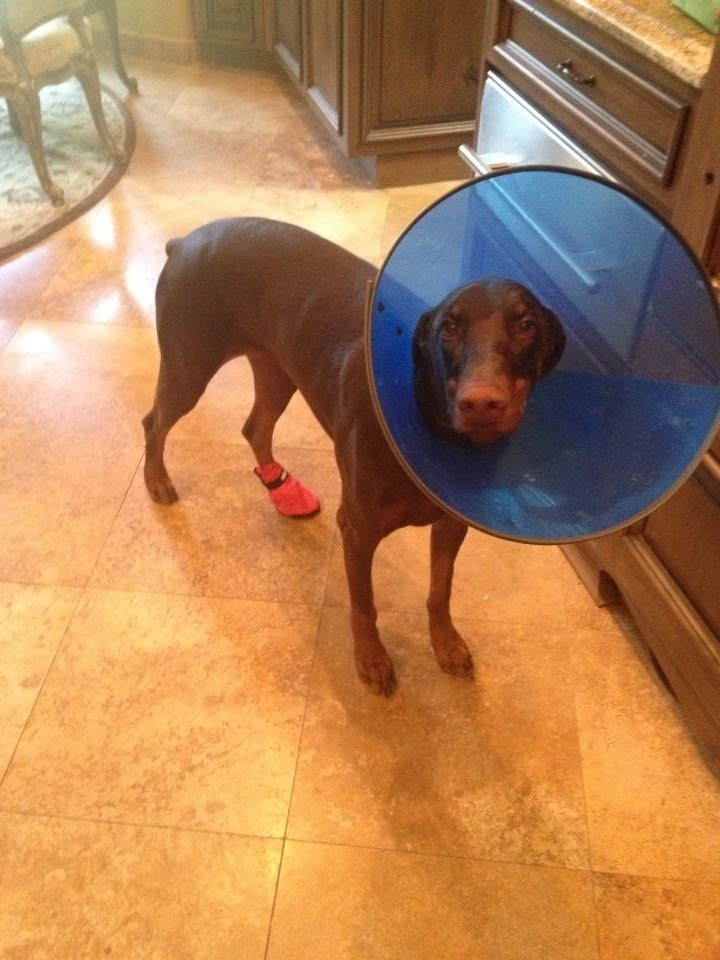 dogs cone of shame - 8818937856