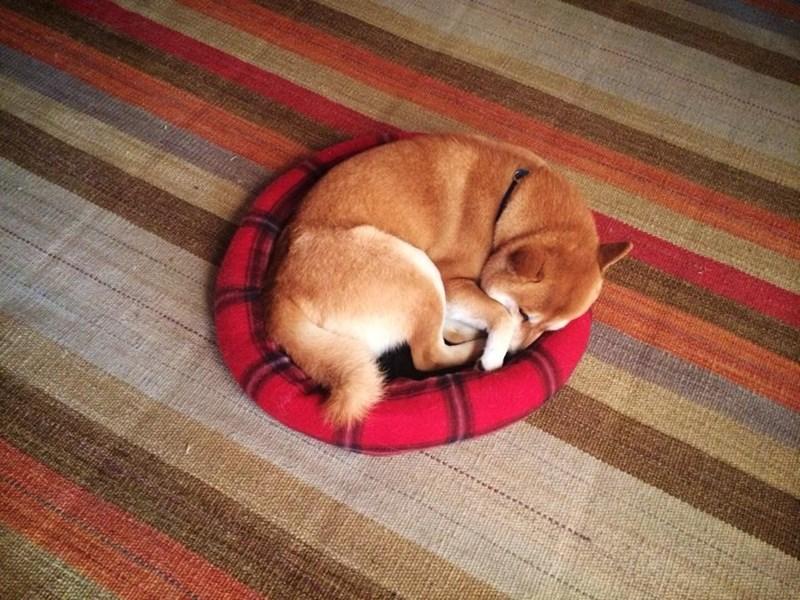 dogs,bed,shiba inu