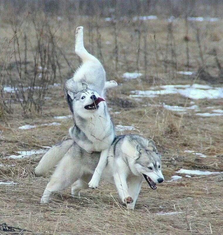 dogs husky derp - 8819089920