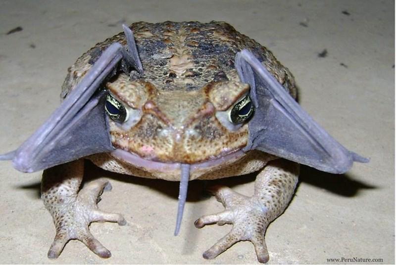 Toad - www.PeruNature.com
