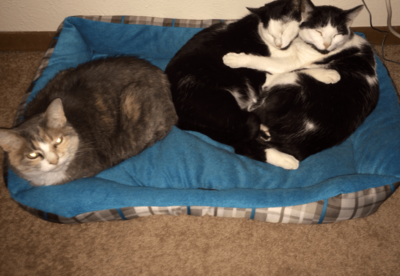 bed cuddle Cats - 8819182336
