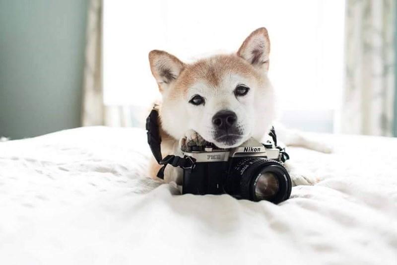 dogs doge photography camera shiba inu - 8819228928