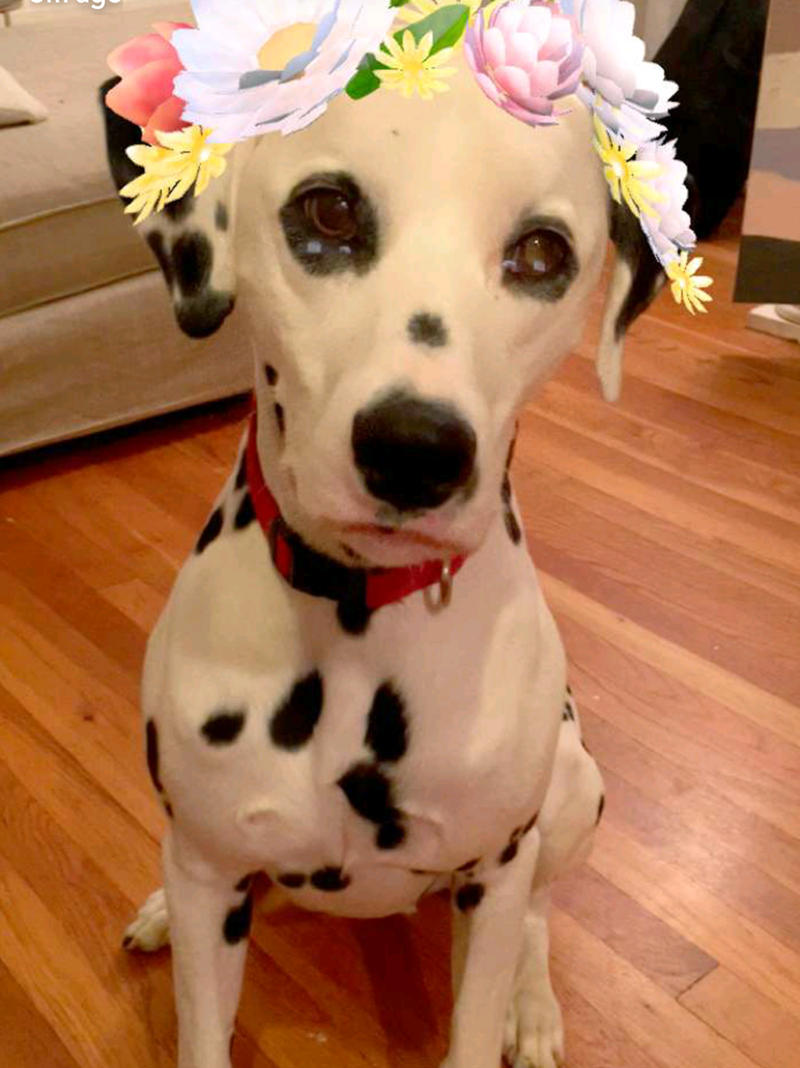 dogs snapchat dalmation - 8819237376