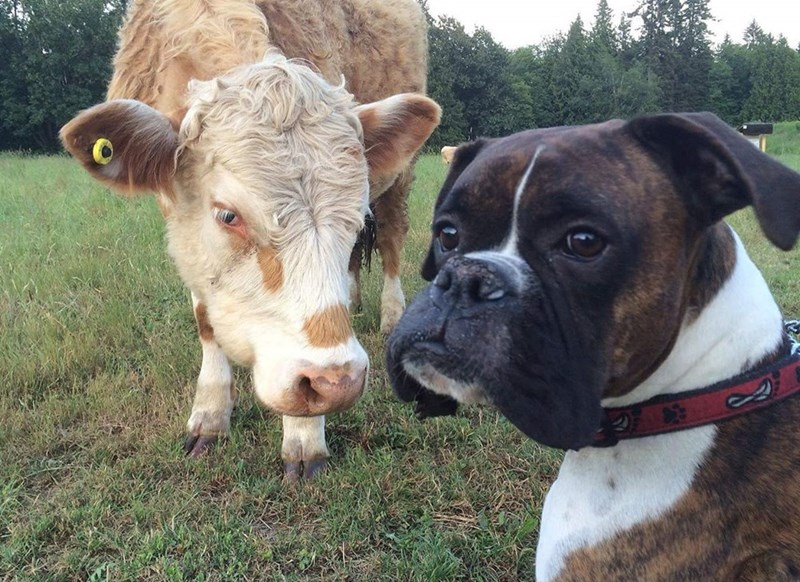 dogs cow - 8819255552