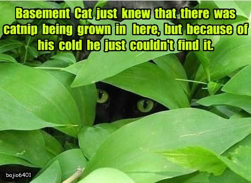 Basement  Cat  just  knew  that  there  was  catnip  being  grown  in   here,  but  because  of  his  cold  he  just  couldn't  find  it.