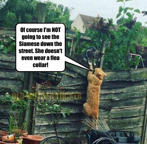 cat,see,not,caption,siamese,collar,flea
