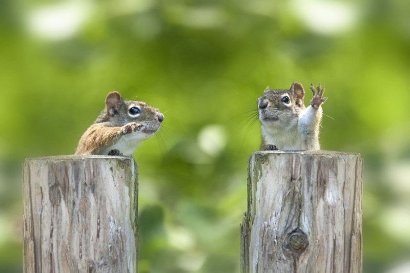 these squirrels look like theyre politicians having a debate