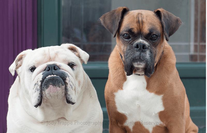dogs bulldog - 8820152832