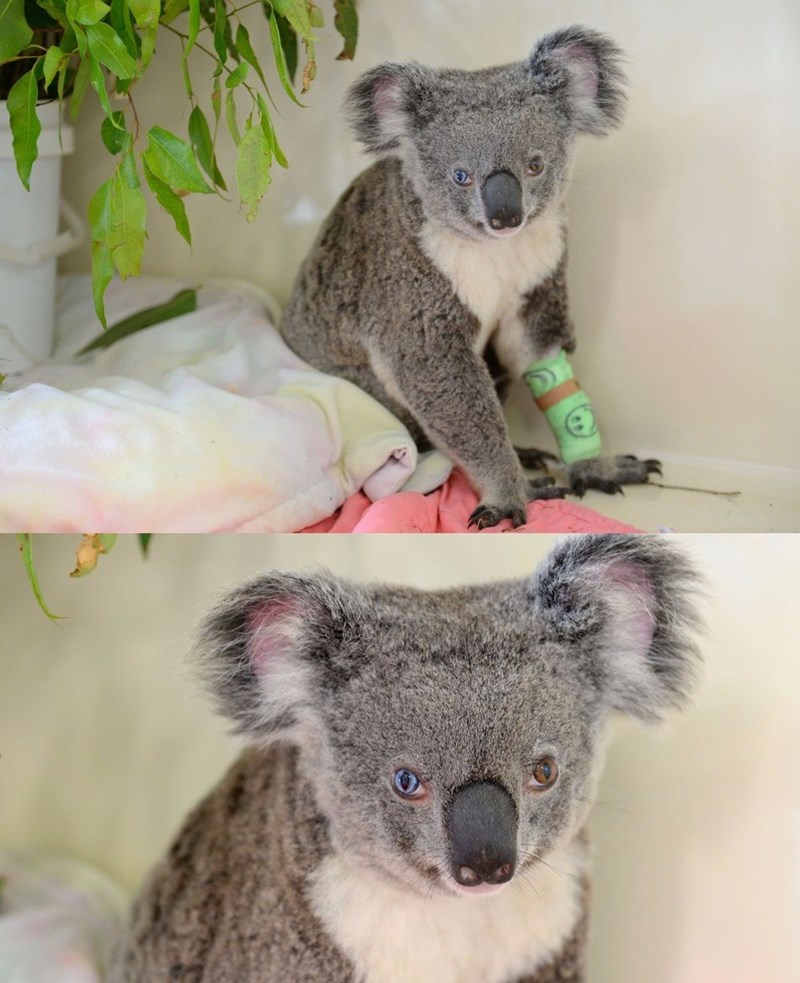 koala named after david bowie because of her mismatched eyes