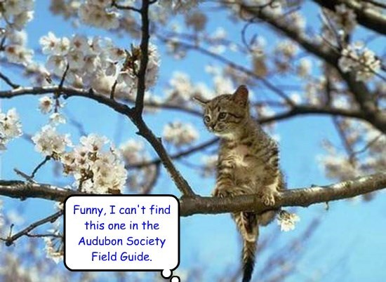 Funny, I can't find this one in the  Audubon Society Field Guide