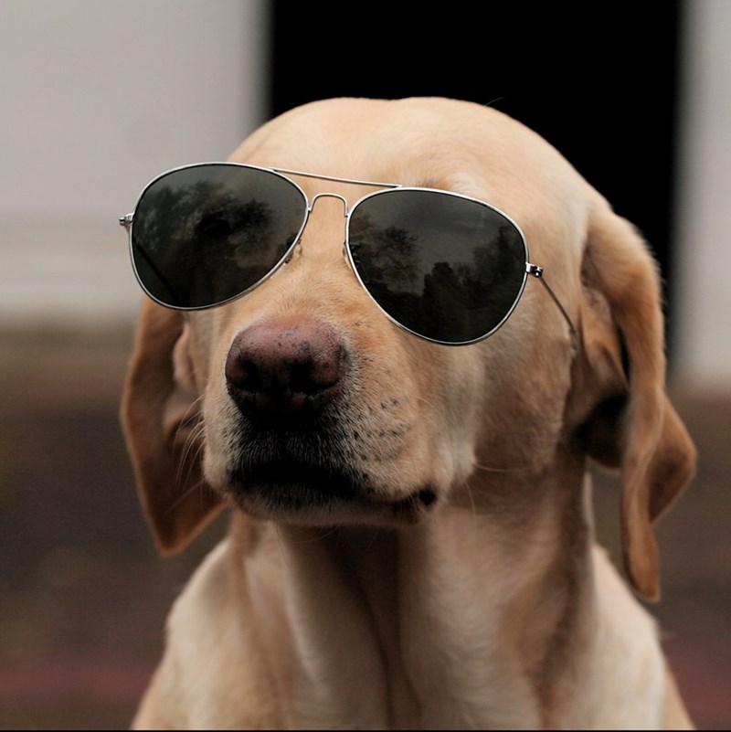 dogs sunglasses - 8820501760
