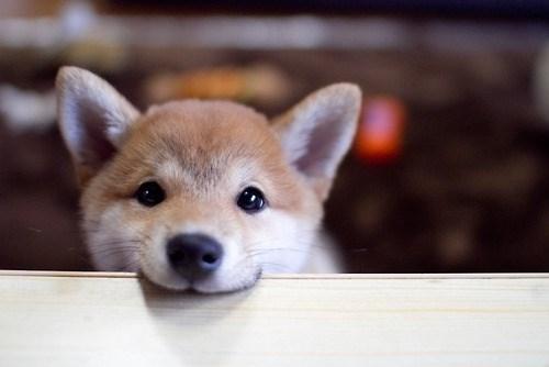 dogs bite shiba inu - 8820507648