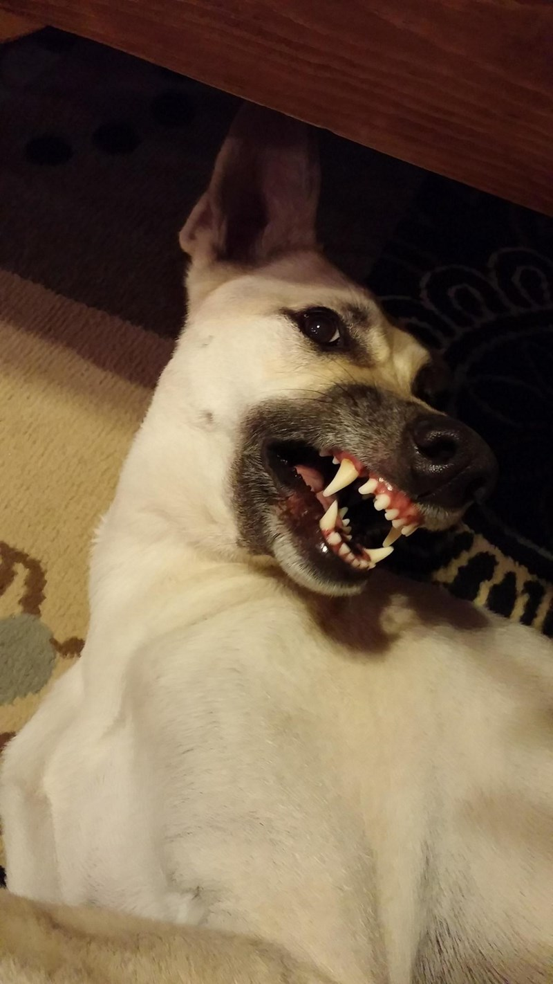 dogs teeth - 8820515328