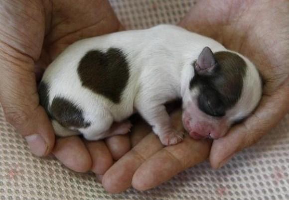 heart puppy - 8820518656