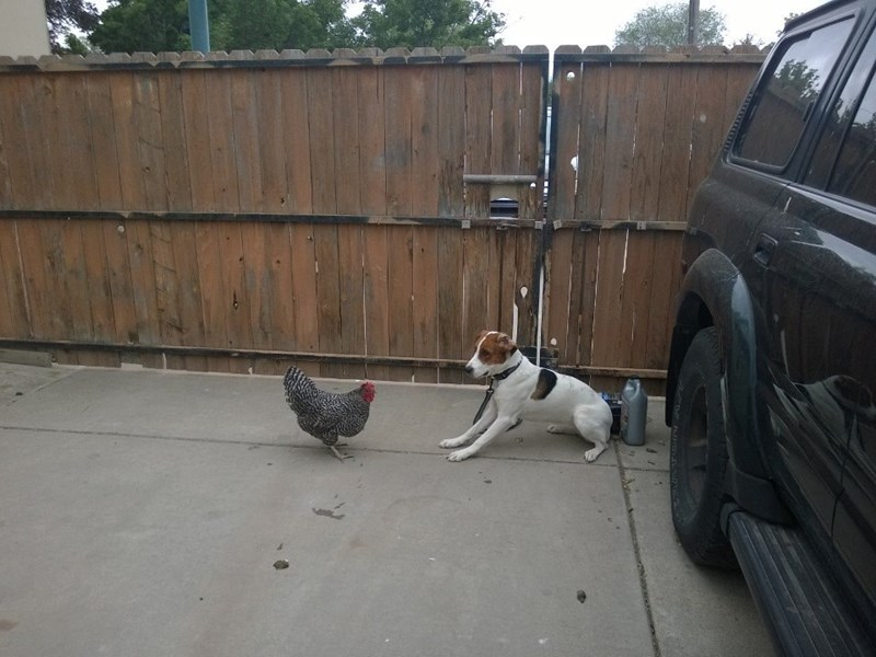 My bred-for-hunting Treeing Walker Coonhound meets a chicken.