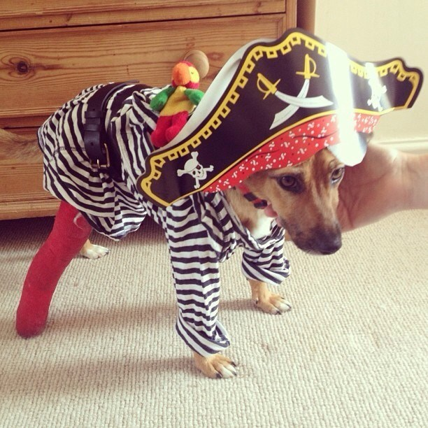 costume dogs Pirate - 8820522752
