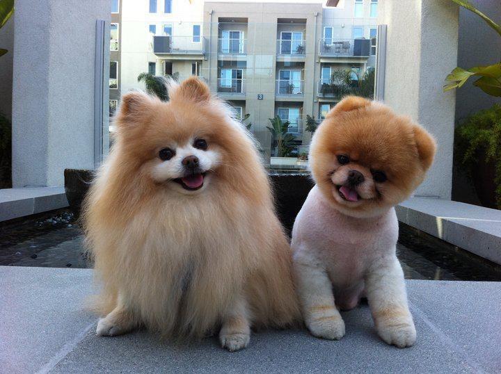 pomeranian dogs - 8821182720