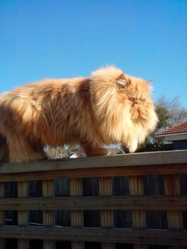 lion Cats - 8821200640