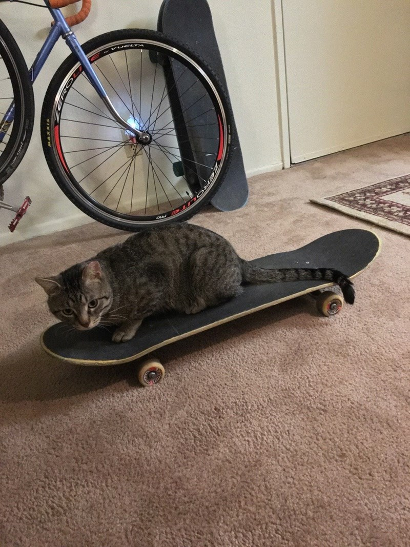 skateboard Cats - 8821517824