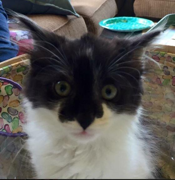 kitten batman Cats - 8821618176