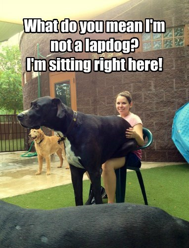 What do you mean I'm not a lapdog? I'm sitting right here!