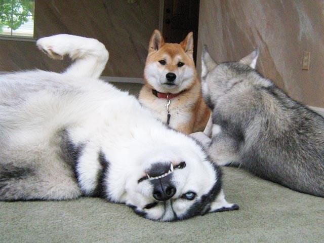 dogs husky shiba inu derp - 8821698048