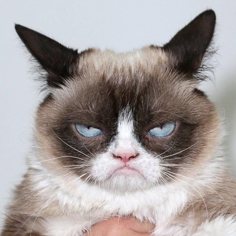 Grumpy Cat Cats - 8821847296