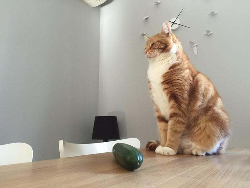 cucumber,Cats