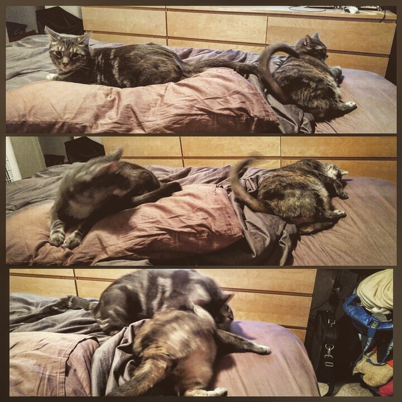 Funny pictures series showing how cat's progress from peacefully sleeping to fighting each other in a few seconrds.