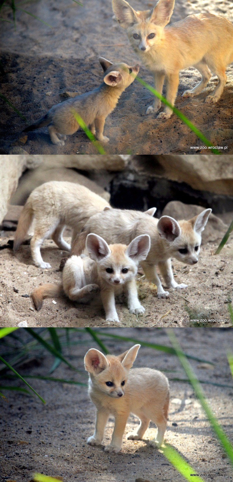 precious fennec fox kits debut at zoo wroclaw