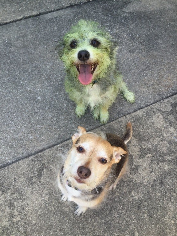 can you tell which dog helped mow the lawn