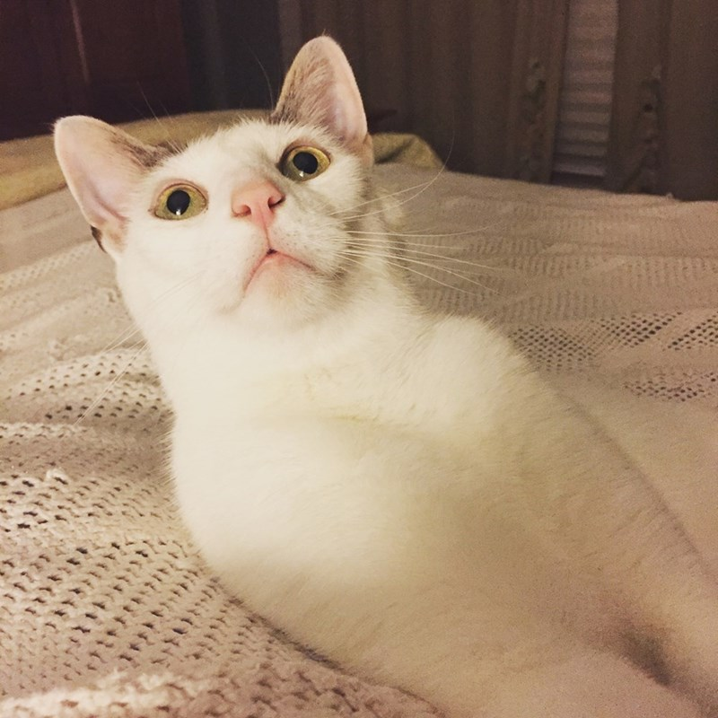 Cute picture of a white cat making the 'huh' expression with his eyes and face.