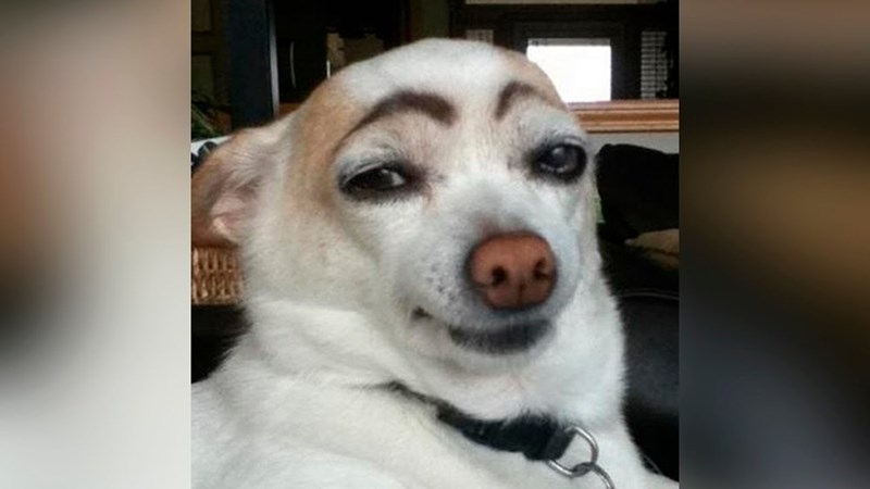 dogs eyebrows - 8822761984