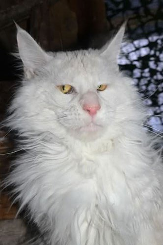 the ron perlman of cats