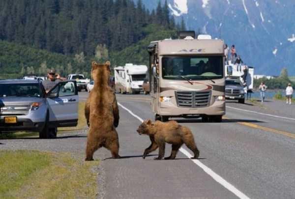 bear stopping traffic