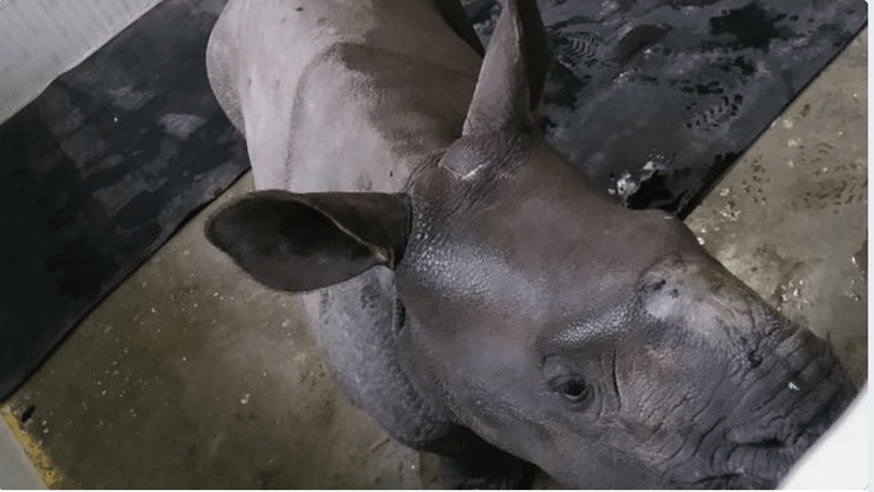 rhino rescued from flood