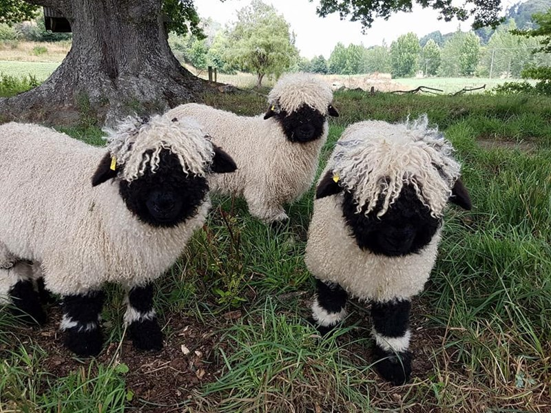 black nose sheep