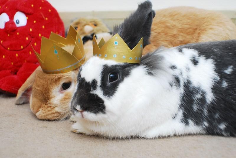bunnies crown cute portraits rabbits royal