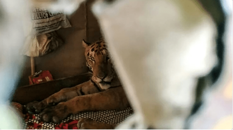 tiger sleeping