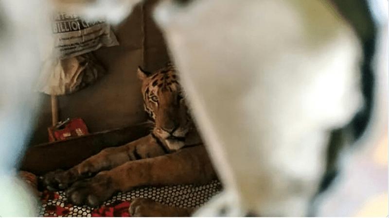 tiger sleeping