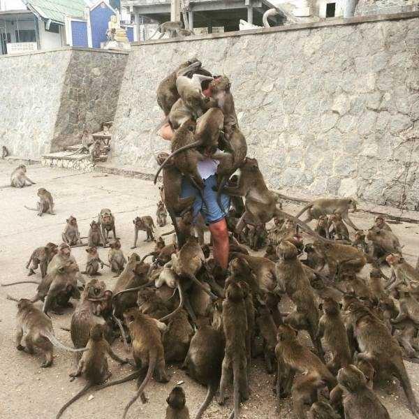 Monkeys covering a man