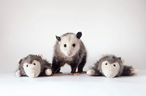 pets instagram possum beautiful rescue - 889861