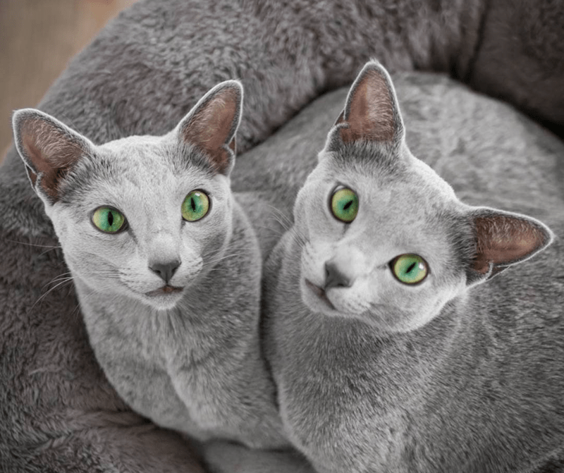 two cats with green eyes