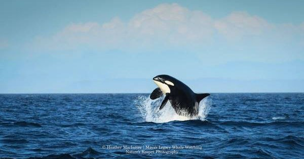 orcas,pod,photographed,swimming,whales