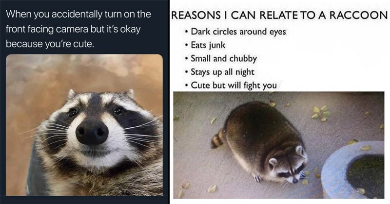Funny and cute memes about raccoons