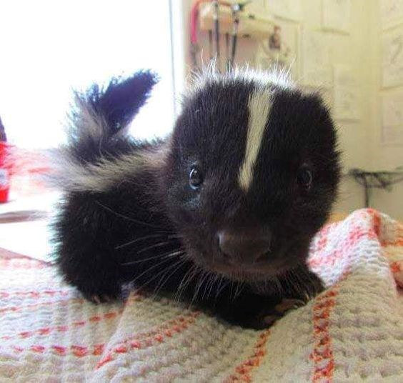 baby skunk skunks cute