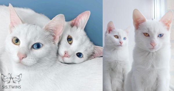 instagram,eyes,heterochromic,twins,Cats