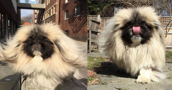 floof miso dogs wonton pekingese Fluffy instagram brothers