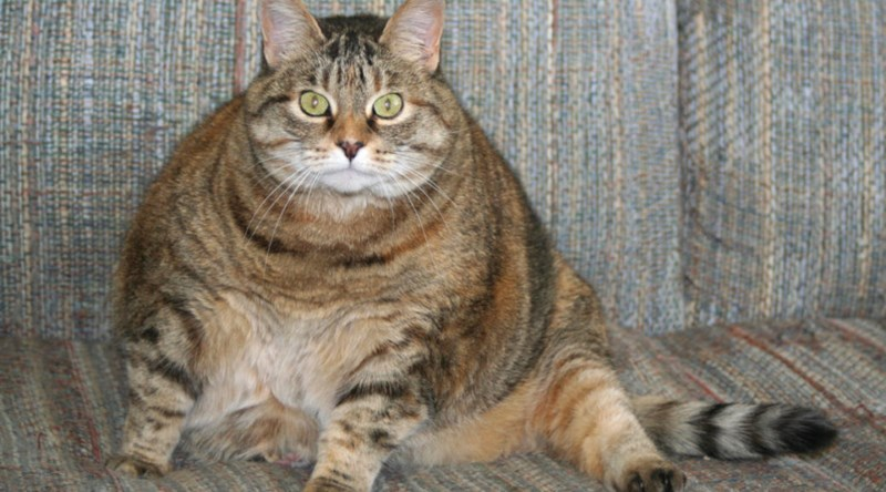 cat obesity research