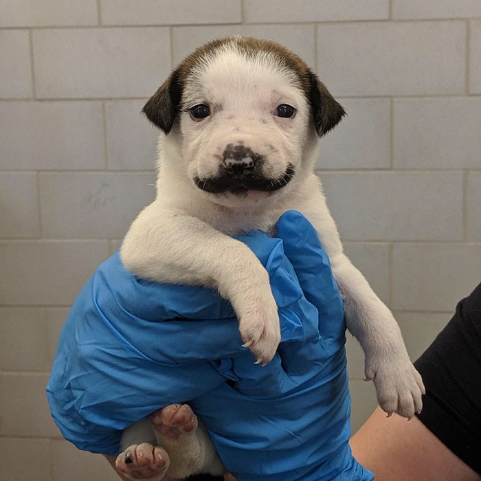 salvador dolly mustache puppy